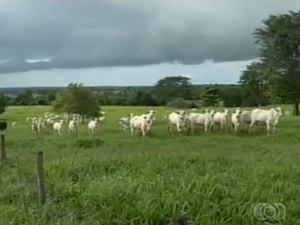 No Tocantins, existe mais de oito milhões de cabeças de gado (Foto: Reprodução/TV Anhanguera)