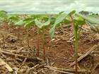 Preços em queda motivam redução no plantio do milho safrinha em MT