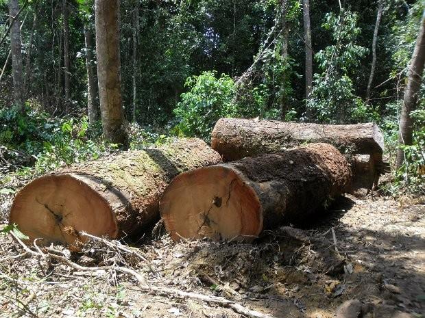 Toras de madeira extraídas de forma irregular foram apreendidas (Foto: Ascom/Polícia Civil)
