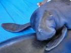 Peixes-boi órfãos serão devolvidos à natureza no Amazonas