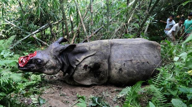 Os caçadores atiraram no rinoceronte e serraram o chifre sabendo que o mamífero ainda estava vivo. Em alguns países asiáticos, há a crença de que o pó de chifre de rinoceronte é afrodisíaco, o que tem fomentado a caça furtiva desta espécie ameaçada. (Foto: Biju Boro/AFP)