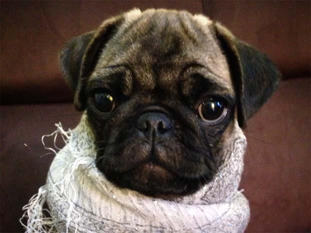 De forma elegante, a cadelinha Bella se protege do frio em Sertãozinho (Foto: Vanessa Pignata/ VC no G1)