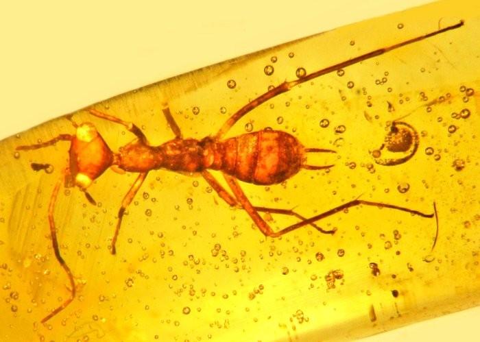 Essa espécie de inseto é tão esquisita que uma nova Ordem precisou ser criada só para ela (Foto: Oregon State University)