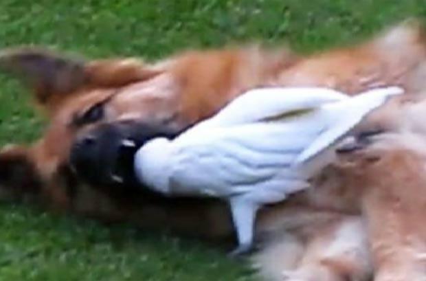 Cacatua coloca a cabeça dentro da boca da cadela 'Misha'. (Foto: Reprodução)