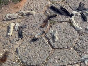 Rabos foram encontrados em uma rua do bairro Vale dos Pinheiros, em São Lourenço (MG) (Foto: Reprodução EPTV)