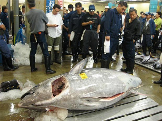 O atum vermelho de 445 km é mostrado pouco antes do leilão desta sexta-feira (16) em Tóquio. (Foto: AP)