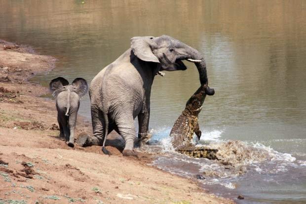 Em 2010, o fotógrafo Martin Nyfeler capturou o exato momento em que um crocodilo mordeu a tromba de uma elefanta quando ela tomava água em um rio no Parque Nacional de South Luangwa, em Zâmbia. Após lutar, a elefanta, que estava com seu filhote, conseguiu se soltar do ataque do réptil, que fica a espreita de presas que vão até o rio beber água (Foto: Martin Nyfeler/Barcroft Media/Getty Images)