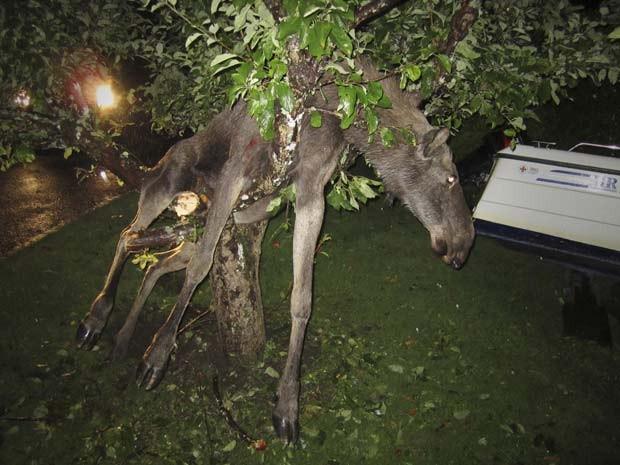 Em 2011, um alce ficou entalado em uma árvore na cidade de Gotemburgo, na Suécia. Segundo o jornal 'Göteborgs Posten', o animal ficou preso entre os galhos da árvore após aparentemente ficar bêbado ao comer maçãs fermentadas (Foto: Per Johansson/AP)