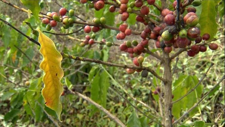 café-pé-amarelo (Foto: Reprodução/TV Globo )