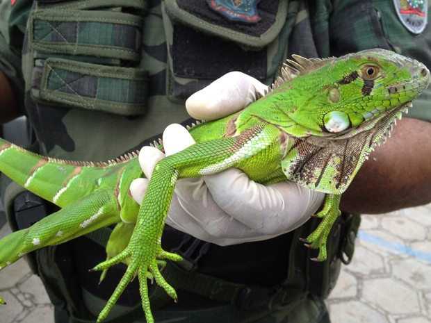 iguana (Foto: Walter Paparazzo/G1 PB)