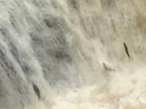 Cheia do Piracicaba permitiu a migração de peixes para a Piracema (Foto: Reprodução/EPTV)