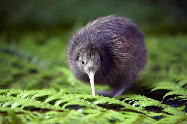 O kiwi é o animal símbolo da Nova Zelândia, mas está ameaçado de extinção (Foto: Divulgação/Rainbow Springs)