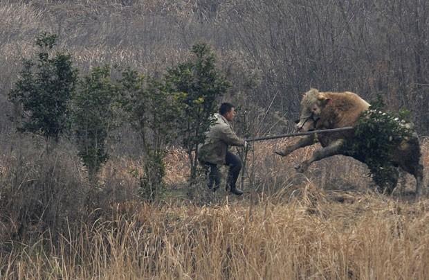Animal de 700 quilos avançu contra várias pessoas que tentaram capturá-lo. (Foto: China Daily/Reuters)
