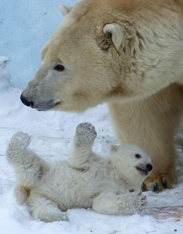 Filhote de urso polar brinca com a mãe, Gerda, no zoológico de Novosibirsk, a cerca de 2,8 mil km de Moscou; o primeiro filhote do casal Kai e Gerda nasceu em dezembro de 2013 e foi apresentado nesta sexta-feira (7) (Fot Ilnar Salakhiev/AP)