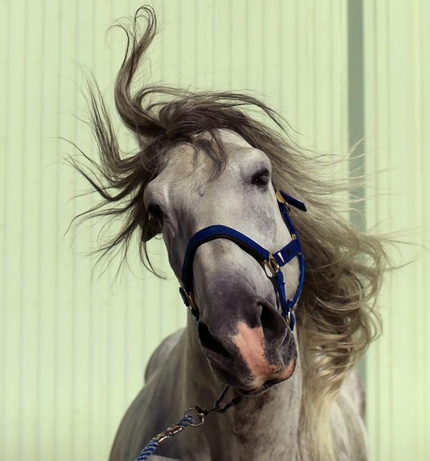 Puro-sangue Nevisco III 'sacode' a crina durante Feira Internacional de Cavalos Sicab em Andaluzia, na Espanha (Foto: Marcelo del Pozo/Reuters)