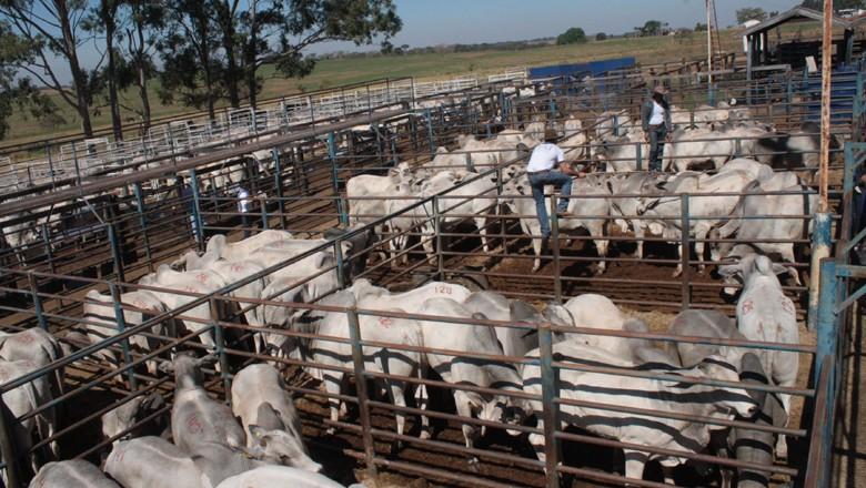 touros-nelore-confinamento-pecuaria-boi (Foto: Divulgação)