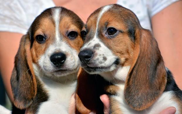 Cães de proveta são mistura de beagle, labrador e cocker spaniel (Foto: Michael Carroll/Cornell University College of Veterinary Medicine via AP)