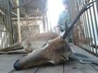 Veado-campeiro morre após ser atropelado na BR-365 em Uberlândia