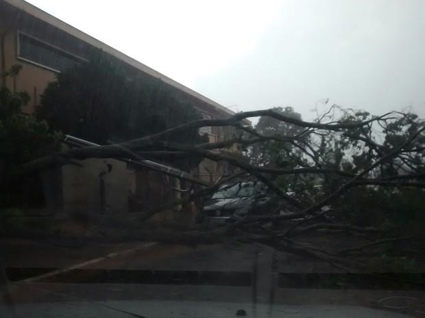 Árvore caiu em cima de carro em Maracaí (Foto: Jessé/Arquivo Pessoal)