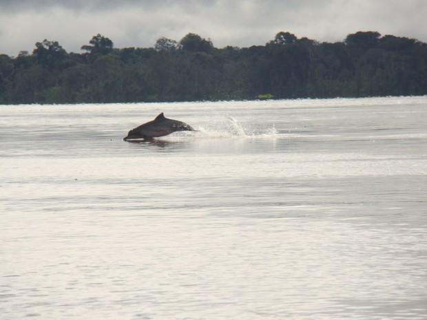 Boto tucuxi nada nas águas do Tapajós (Foto: Instituto Mamirauá)