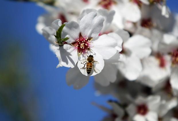 Abelha pousa em flor em Jerusalém; espécies silvestres se 'especializam' em polinizar certas plantas (Foto: Baaz Ratner/Reuters)