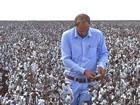 Chuvas prejudicam lavouras de algodão na região sudeste de MT