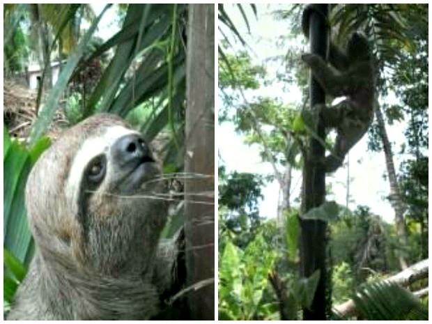 Animal é conhecido popularmente como preguiça-de-bentinho, diz bióloga (Foto: Luiz Felipe Carioca/Arquivo pessoal)
