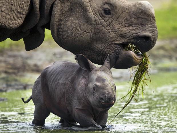 O rinoceronte-indiano tem como habitat natural as florestas e pradarias do Nepal e da Índia. Estimativa da organização ambiental WWF é que existam aproximadamente 2.575 exemplares pelo mundo (Foto: Markus Schreiber/AP)