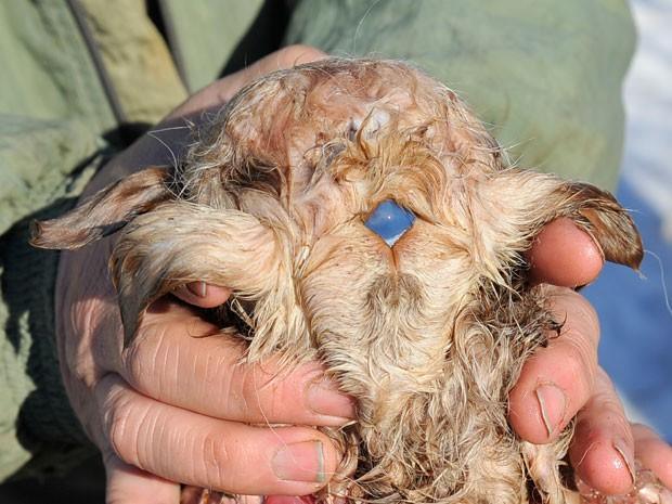Um cordeiro com três olhos e oito patas nasceu há quatro dias em uma fazenda no Cazaquistão, mas não sobreviveu. Segundo o agricultor Kuandyk Bekitayev, que tem uma fazenda em Pavlodar, disse que a mancha na testa do cordeiro é o terceiro olhos do animal. As fotos foram feitas neste sábado (16).   (Foto: VLADIMIR BUGAYEV/AFP)