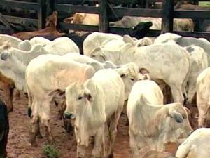 Agência em MS estima vacinação de 99% de rebanho bovino contra aftosa (Foto: Reprodução/TV Morena)