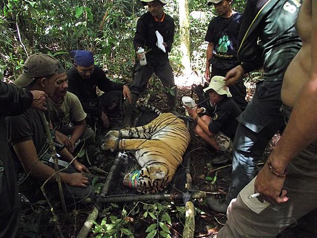 Tigre capturado Indonésia (Foto: Parque Nacional Kerinci Seblat/AFP)