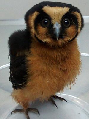 Filhote de coruja rara é encontrada em Mogi das Cruzes (Foto: Jefferson Leite/ arquivo pessoal)