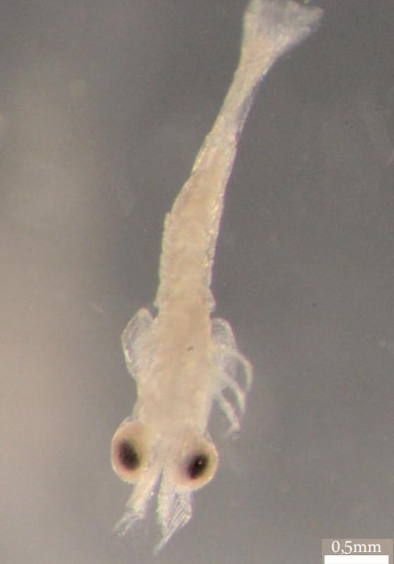 Nova espécie descoberta na caverna da Chaminé em Ponta Grossa (Foto: GUPE divulgação)