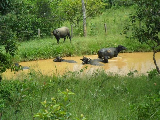 Búfalas tomam banho em 'piscina' de fazenda de Ceilândia, no Distrito Federal (Foto: Raquel Morais/G1)