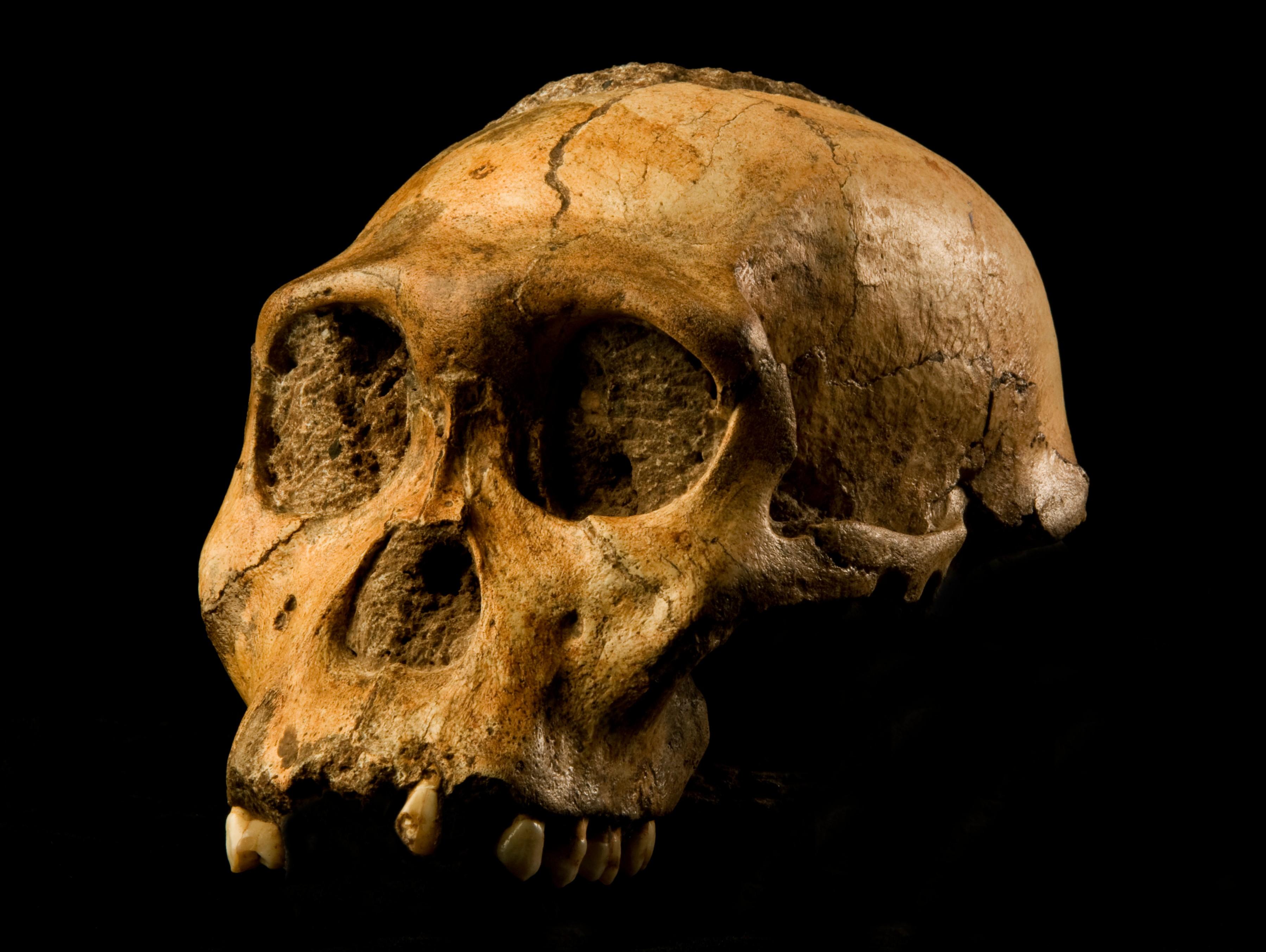 crânio de australopithecus (Foto: wikimedia commons)