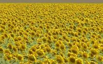 Plantações de girassol dão cor aos campos de MT
