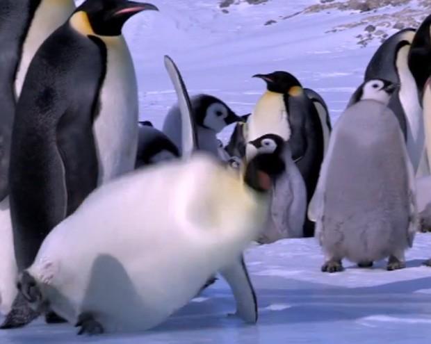 Vídeo reúne escorregões e tombos de pinguins (Foto: Reprodução)