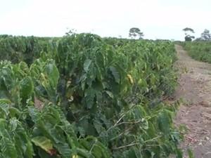 Café foi uma das culturas prejudicadas pela seca (Foto: Reprodução/ TV Sudoeste)