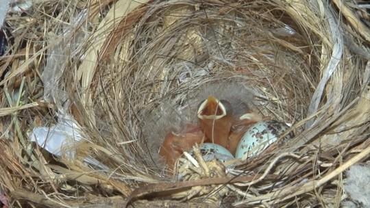 Passarinhos voltam a fazer ninho no quarto de comerciante em Juazeiro