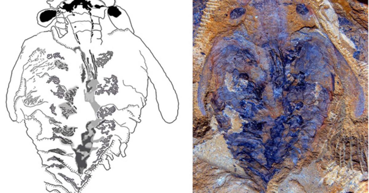 Fóssil revela cérebro de estranha criatura de 520 milhões de anos