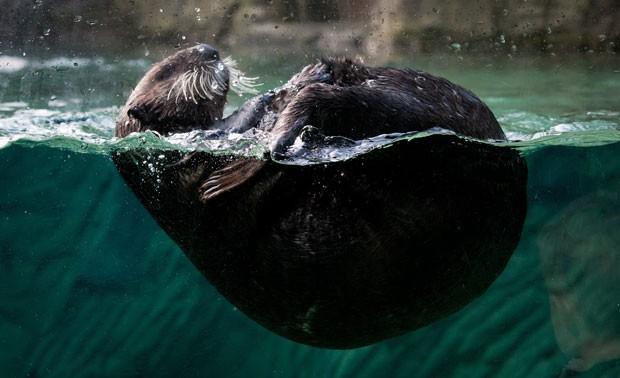 Aquário lançou votação para escolher nome da lontra (Foto: Darryl Dyck/Canadian Press/AP)