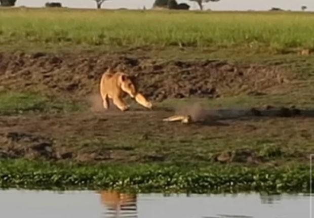 Leoa foi flagrada atacando crocodilo que descansava próximo a um rio  (Foto: Reprodução/YouTube/Kruger Sightings)