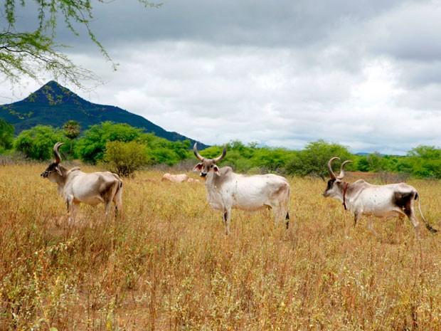 Está prevista a exportação de 140 cabeças de gado para o Senegal. (Foto: Moraes Neto/Agência Sebrae-RN)