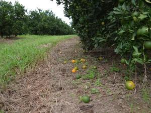 Pés de laranja em fazenda de Matão (Foto: Thayná Cunha/ G1)