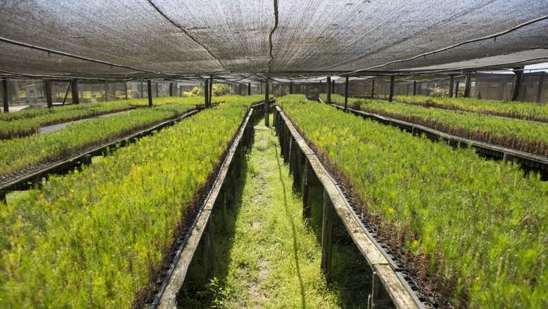 mudas-de-eucalipto-madeira (Foto: Fernando Martinho/Ed. Globo)