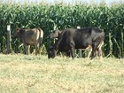 Integração Lavoura-Pecuária (ILP) é um dos temas de feira agropecuária