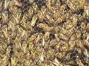 Abelhas da espécie mestiça africana e européia foram encontradas na residência de Campinas (Foto: Reprodução / TV Globo)