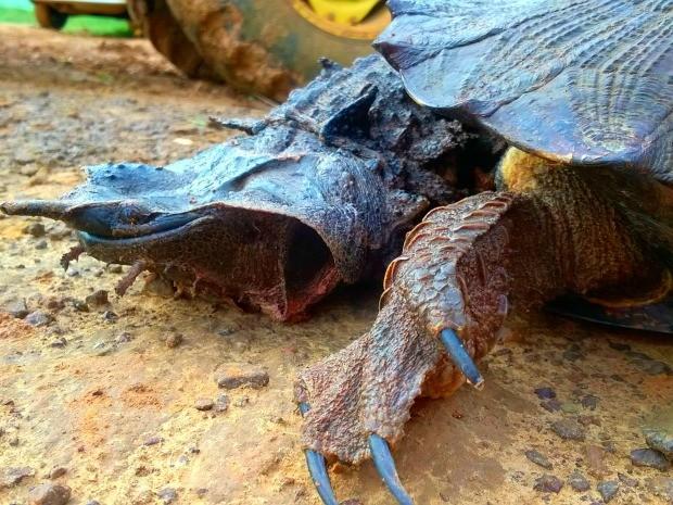Matamatá tem o nome científico Chelus fibriatus, diz biológo Moisés Barbosa, da Ufac (Foto: Edson Souza/Arquivo pessoal)