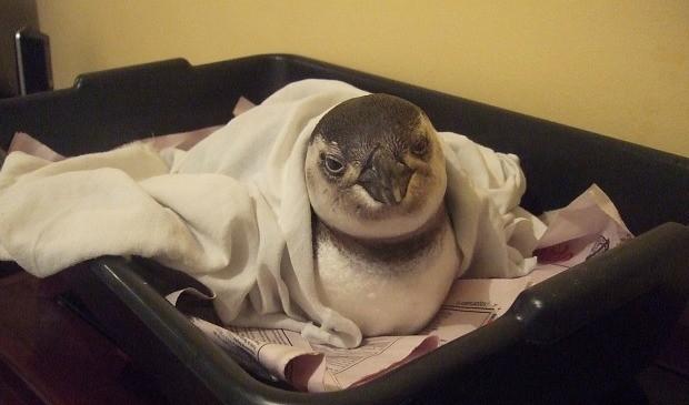 """""""Pinguins não devem ser colocados em áreas geladas, devem ser aquecidos"""", disse a bióloga.  (Foto: Renata Bhering/Ipram)"""