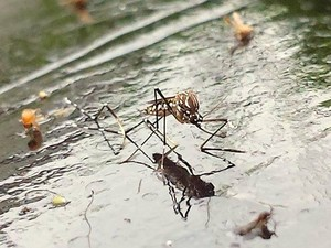 Mosquito transmissor da dengue fica preso em armadilha monitorada por app em Piracicaba (Foto: Cesar Fontanele/ EPTV)